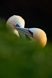 Pair of bird. Bird love. Northern Gannet, Sula bassana, detail head portrait with evening sun and dark sea in the background, beau Royalty Free Stock Image