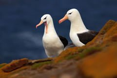 Pair of bird. Black-browed albratross, Thalassarche melanophris, beautiful sea bird sitting on the cliff. Albatross with dark blue Stock Image