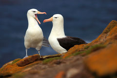 Pair of birds Black-browed albratros. Beautiful sea bird sitting on the cliff. Albatross with dark blue water in the background, F Royalty Free Stock Photos