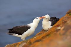 Pair of birds Black-browed albratros. Bird love. Beautiful sea bird sitting on cliff. Albatross with dark blue water in the backgr stock photo