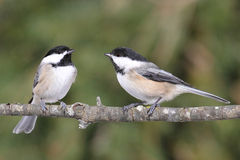 Pair of Birds on a Branch Royalty Free Stock Photo