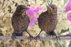A pair of birds on a branch. Spring. Blackbirds on a branch Stock Photo