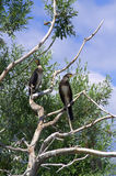 Pair of birds on dry tree Royalty Free Stock Photo