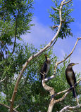 Pair of birds on dry tree Stock Photography