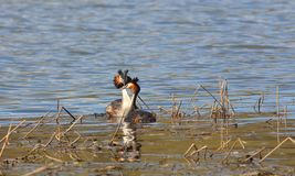 Pair of birds Great crested grebe Podiceps cristatus are performing mating dance.  royalty free stock photos