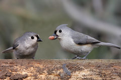 Pair of Birds With A Peanut Royalty Free Stock Photography