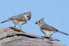 Pair of Birds With A Peanut Stock Photography