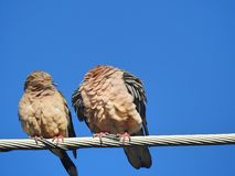 A pair of birds perched on a cable: one of them with a hidden head. stock photos