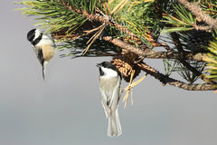 Pair of Birds on a Pine Branch royalty free stock photos