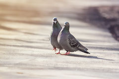 Pair of birds rock pigeons in spring and builds a caring family Stock Images