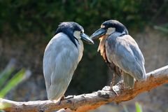 A pair of birds showing their affection stock photos