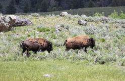 Pair of Bison, also known as the American Buffalo. Two Bison walking through a valley Royalty Free Stock Image
