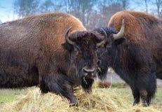 Pair of Bison. Pair of American Bison feeding on hay Royalty Free Stock Photos