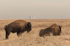Pair of Bison Bull. A pair of bull bison on the prairie Stock Photos