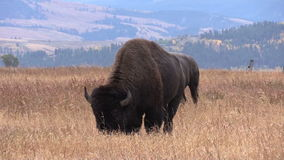 Pair of Bison in Fall stock video