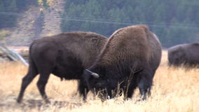 Pair of Bison Fighting stock footage