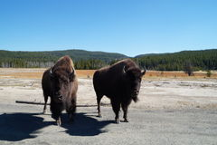 Pair of bison in Yellowstone. Pair of posing bison in Yellowstone National Park Royalty Free Stock Photos