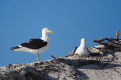 A pair of Black back gull flying sitting on nest Stock Photos