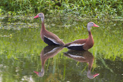A pair of Black-bellied whistling ducks (Dendrocygna autumnalis) in a swamp. Royalty Free Stock Photo