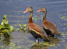 A pair of Black-bellied whistling ducks (Dendrocygna autumnalis) in a swamp. Brazos Bend State Park, Needville, Texas, USA Royalty Free Stock Photos