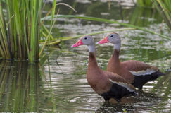 A pair of Black-bellied whistling ducks (Dendrocygna autumnalis) in a swamp covered with duckweed. Stock Image