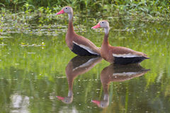 A pair of Black-bellied whistling ducks (Dendrocygna autumnalis) in a swamp Stock Photography
