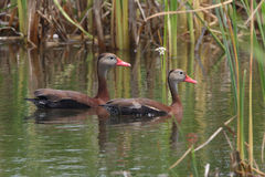 Pair of Black-bellied Whistling Ducks Swimming in a Marsh Stock Photography