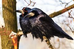 Pair of black birds in the winter sit on the branch. Winter, wildlife, birds Stock Photography