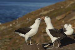 Pair of Black-browed Albatross - Falkland Islands Stock Image