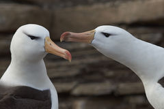 Pair of Black-browed Albatross - Falkland Islands Royalty Free Stock Image