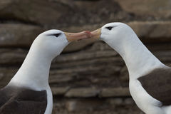 Pair of Black-browed Albatross - Falkland Islands Stock Photos