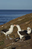 Pair of Black-browed Albatross Thalassarche melanophrys - Falkland Islands Royalty Free Stock Images