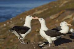 Pair of Black-browed Albatross Thalassarche melanophrys - Falkland Islands Royalty Free Stock Photos