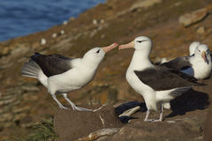 Pair of Black-browed Albatross & x28;Thalassarche melanophrys& x29; - Falkland Islands Royalty Free Stock Images