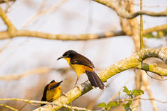 A Pair of Black-Capped Mocking Thrushes on a Branch Royalty Free Stock Photos