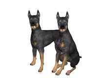 Pair of Black Dobermans. An pair of alert Dobermans watch intently. Computer Generated Image, 3D Models Royalty Free Stock Photography