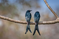 Pair of Black Drongo perched branch in sunlight Royalty Free Stock Image