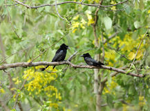 A pair of Black Drongo perched on a tree in Jim Corbett Royalty Free Stock Photography