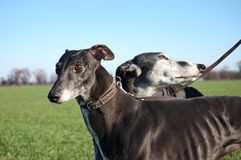 Pair of black greyhounds before hunting Royalty Free Stock Photography