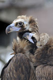 Pair of black griffons. (Cathartae) in a Moscow Zoo Stock Images