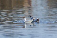 Pair of Black-headed Gulls Chroicocephalus ridibundus at pond, selective focus, shallow DOF Royalty Free Stock Photo