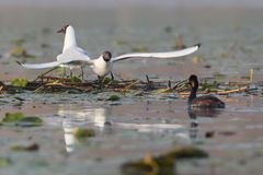 A pair of black headed gulls on their nest Royalty Free Stock Images