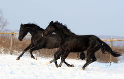A pair of black horses Royalty Free Stock Photography