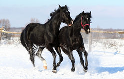 A pair of black horses Stock Photography