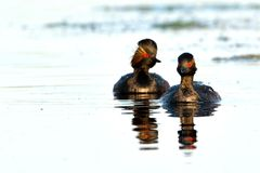 Pair of Black Necked Grebes on Water Royalty Free Stock Images