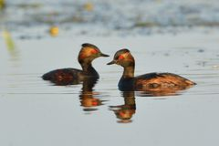 Pair of Black Necked Grebes on Water Stock Image