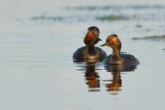 Pair of Black Necked Grebes on Water Stock Photo