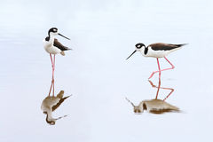 Pair of Black-necked Stilts - Everglades National Park Royalty Free Stock Photography