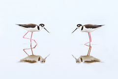 Pair of Black-necked Stilts - Everglades National Park Stock Photo