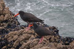A pair of black oyster-catchers. A pair of black oyster-catcher bird, New Zealand royalty free stock photography